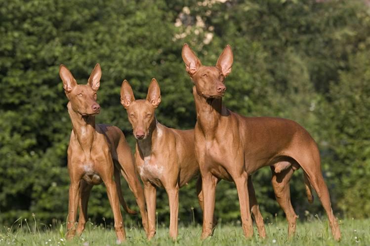 Фараонова собака (фарао хаунд, староегипетская борзая): фото, купить, видео, цена, содержание дома