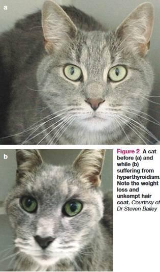 Гипертиреоз — ? как проявляется у кошек, симптомы и лечение болезни