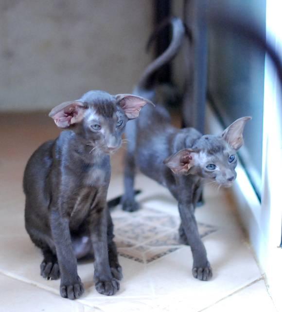 Сфинкс ? фото, описание, характер, факты, плюсы, минусы кошки ✔