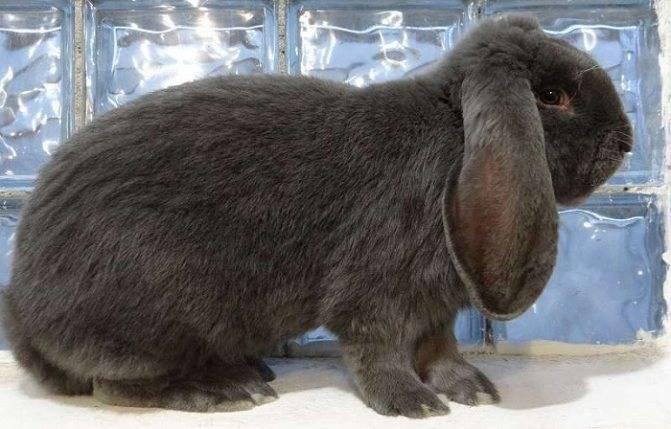 Содержание и разведение кроликов французской породы баран
