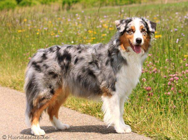 Австралийская овчарка - стандарт и характеристика порода, воспитание щенков и содержание в домашних условиях
