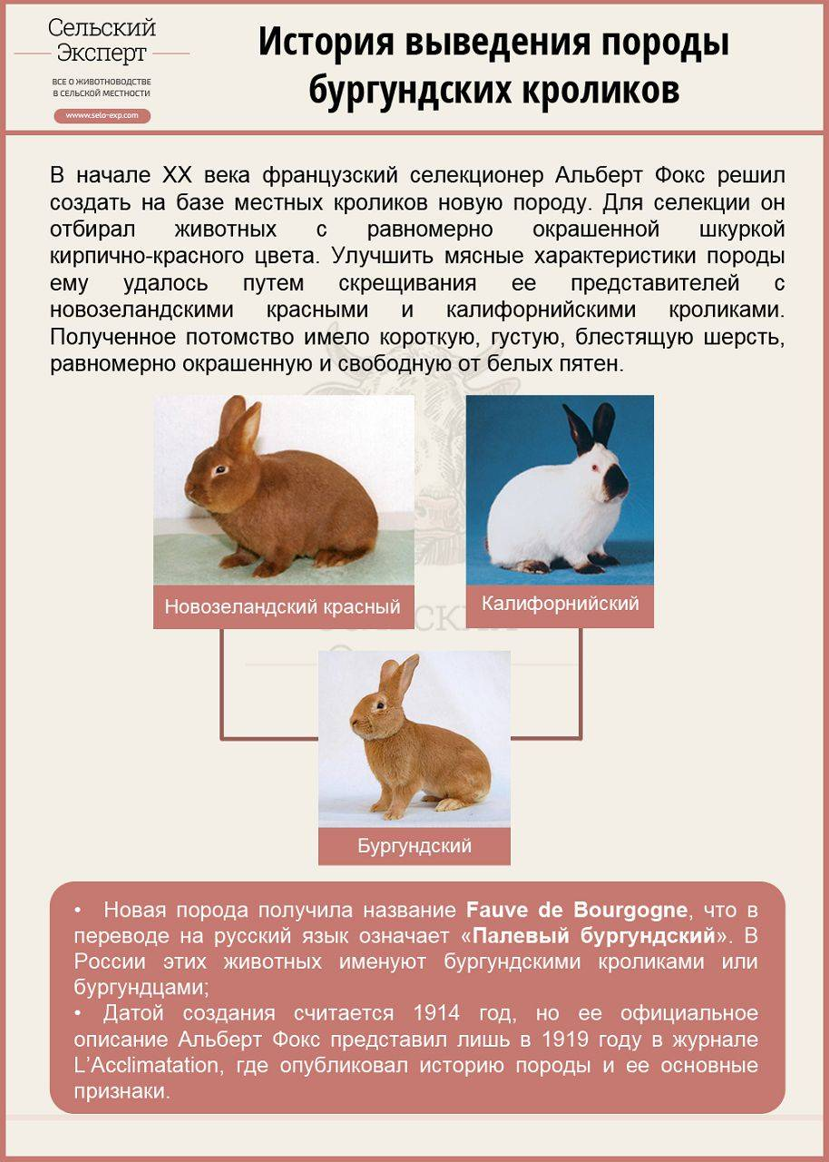 Описание бургундских кроликов