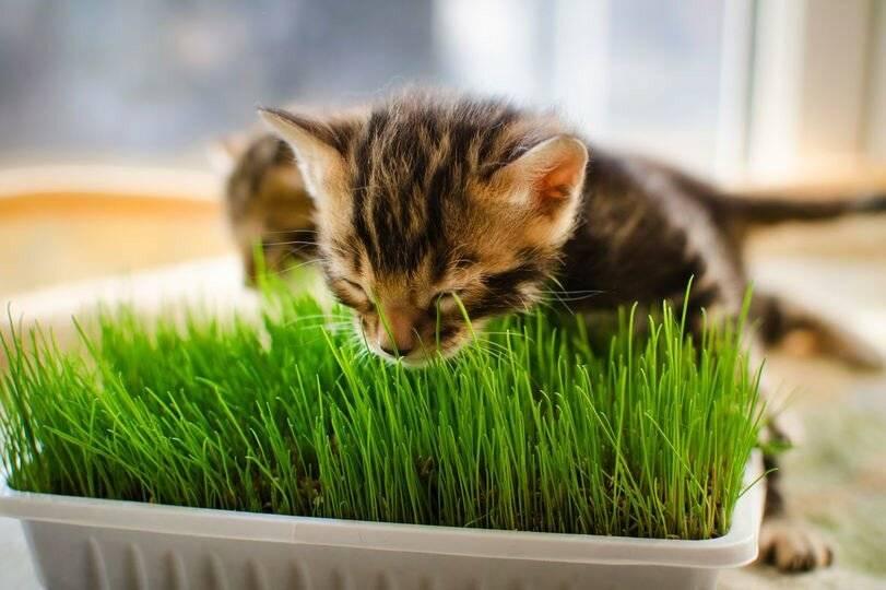 Какую траву любят и едят кошки: виды травы, польза для организма, способы проращивания