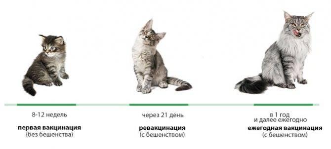Необходимость прививок для котят: нужно ли, можно и когда?