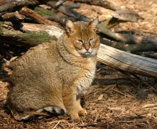 Образ жизни камышового кота или болотной рыси в домашних условиях