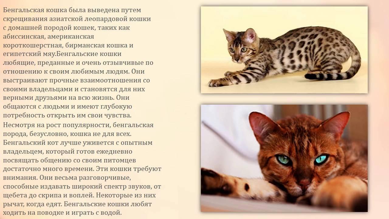 Бенгальская кошка - фото, цена котенка, окрасы, описание породы и характера