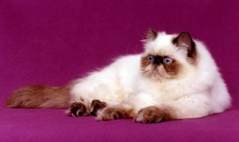 Гималайская кошка: внешний вид, особенности ухода за питомцем, частые болезни гималайской породы