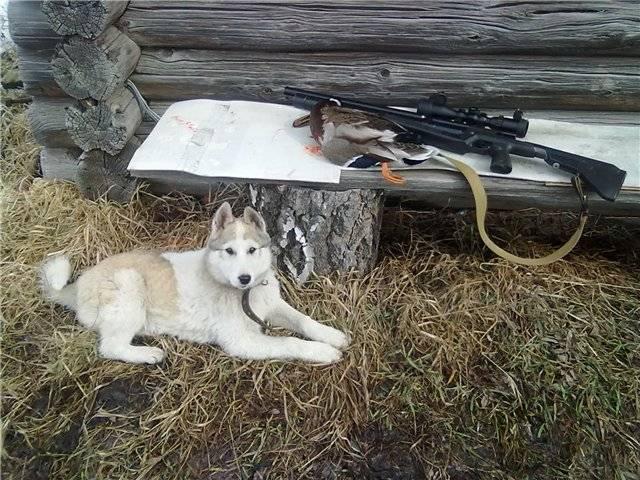 С лайкой на охоте