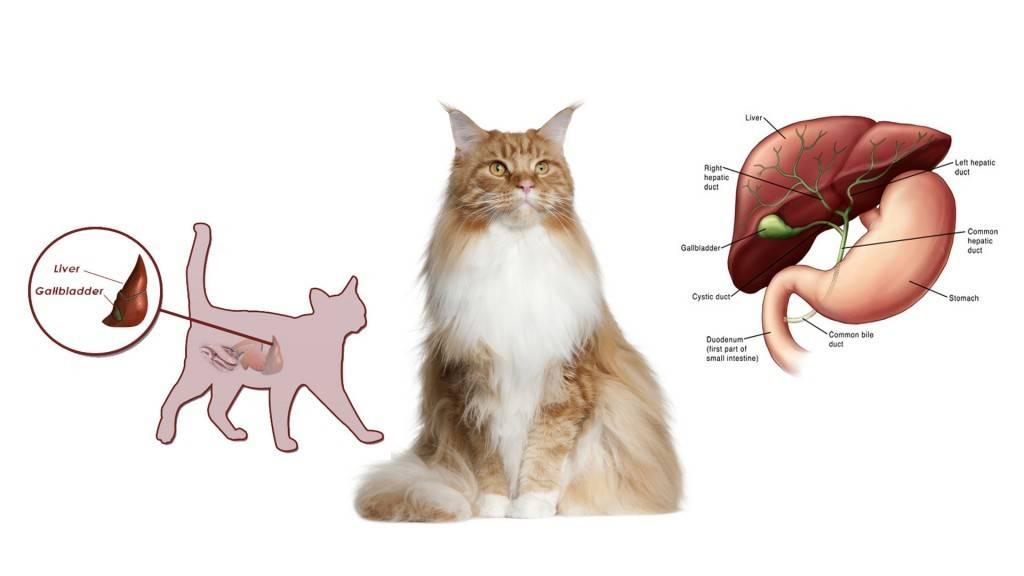 Атаксия у кошек лечение в домашних условиях — проблемы с вестибулярным аппаратом у кота