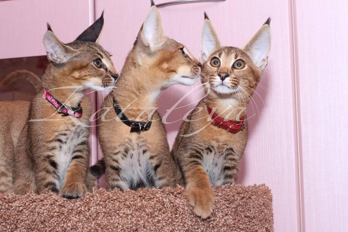 Каракал — порода кошек, известная как пустынная или степная рысь