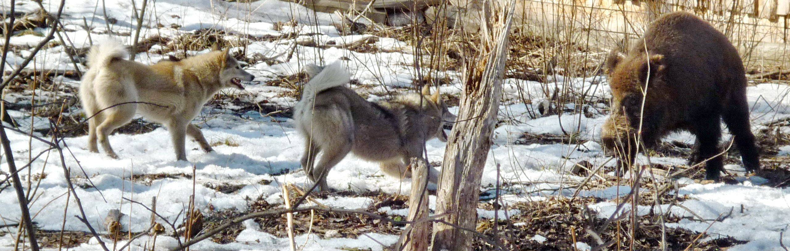 Охота с лайкой: на кабана, лося, медведя, утку, зайца, глухаря