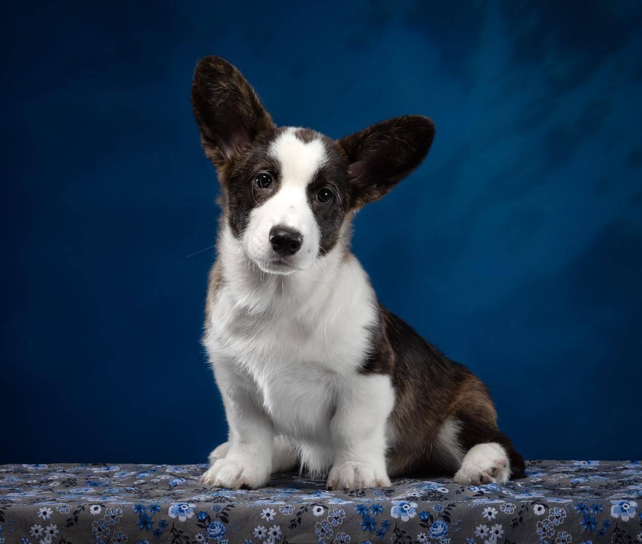 Описание и особенности породы собак «вельш-корги»: правильный уход за питомцем и отзывы владельцев