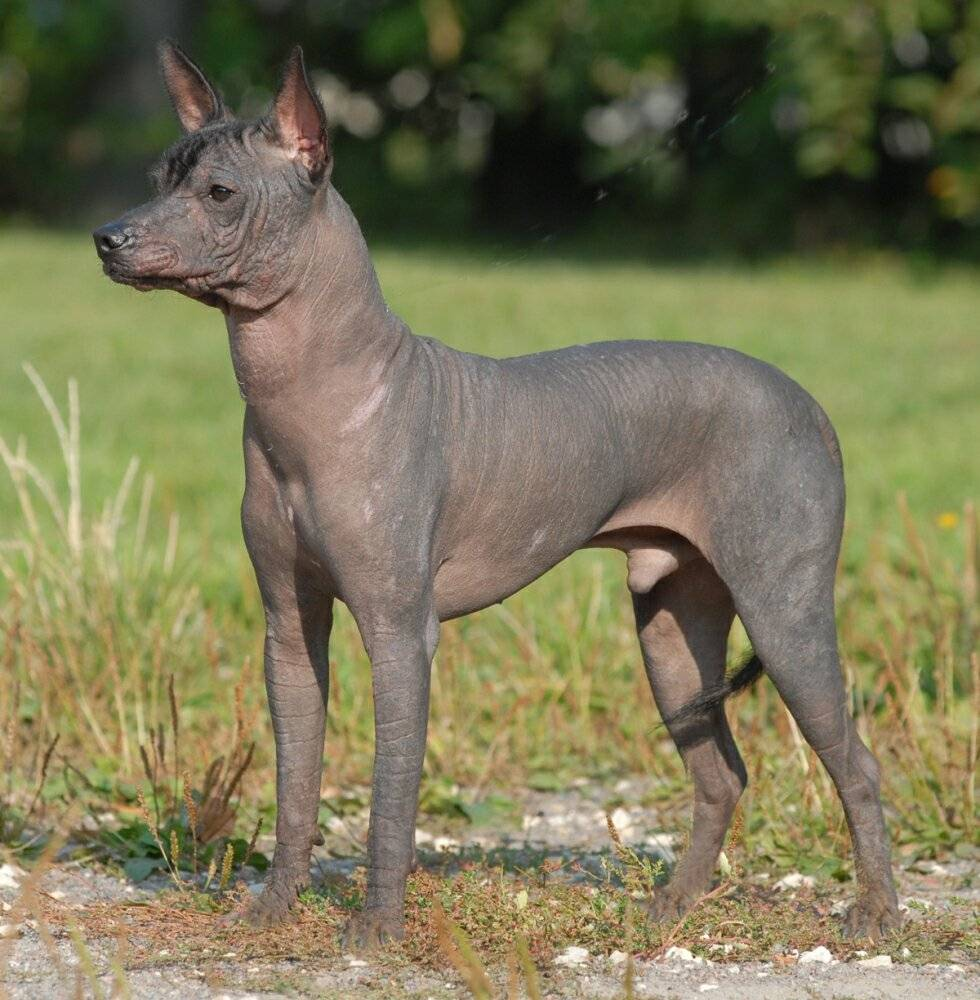 Ксолоитцкуинтли собака. особенности породы. уход за ксолоитцкуинтли   животный мир