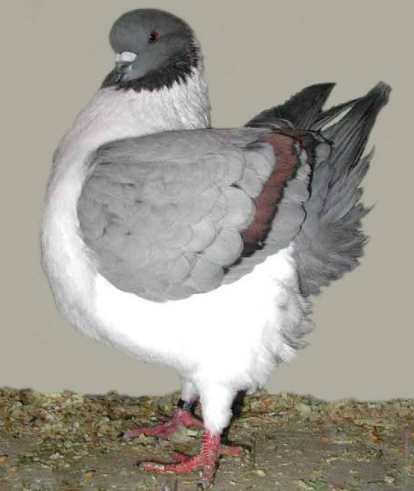 12 интересных фактов о голубях