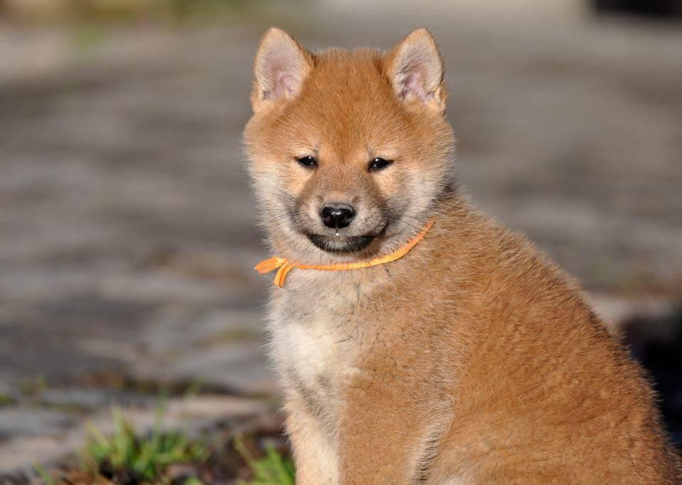 Подробная характеристика японских собак сиба-ину: внешность и повадки породы