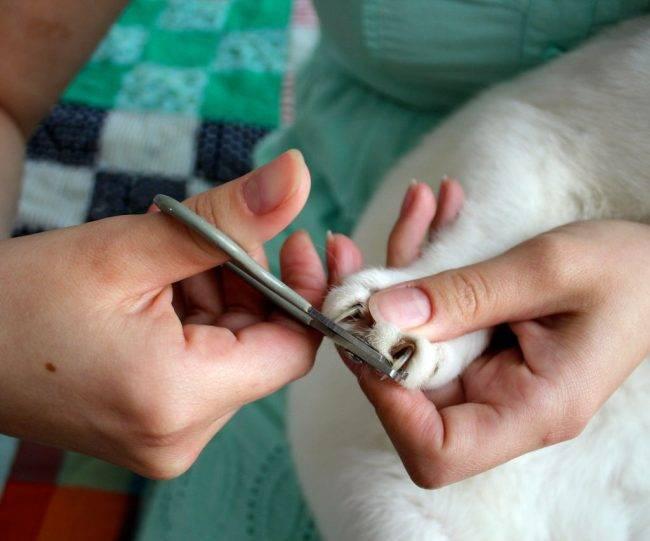 Как подстричь когти кошке? 25 фото чем их стричь в домашних условиях? можно ли обстричь когти котенку? как часто нужно это делать?