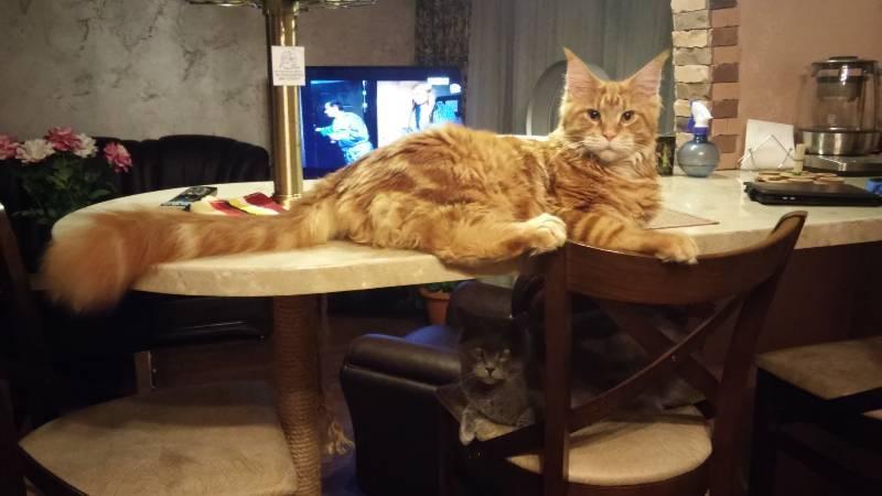Как отучить кошку лазить по столам: лучшие способы как отучить кошку лазить по столам: лучшие способы