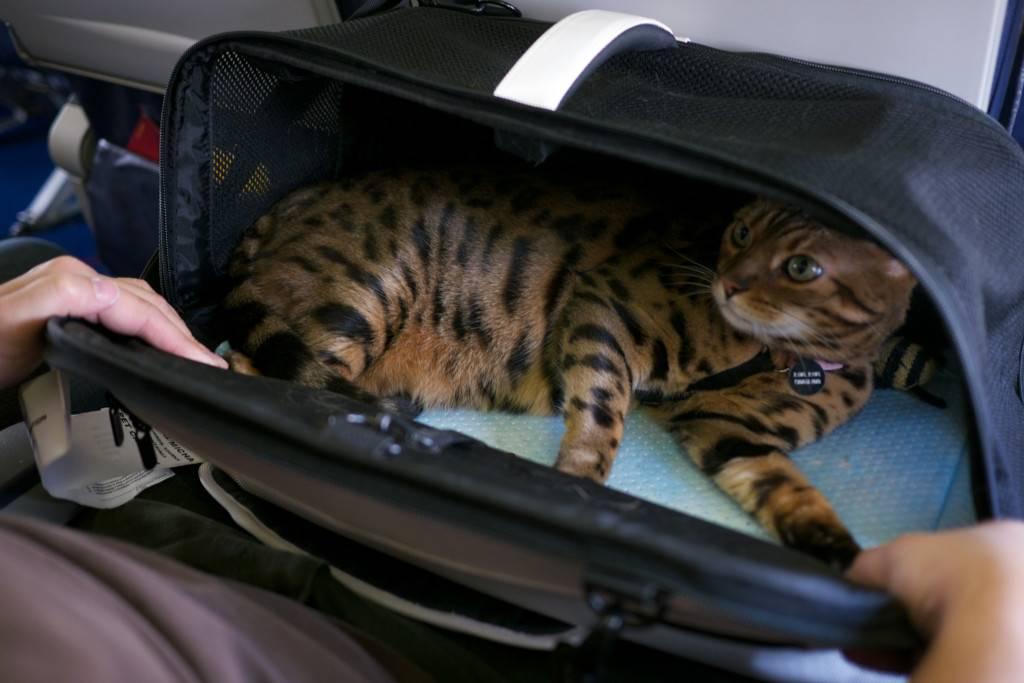 Как перевозить кошку в машине. приучаем кошку к автомобилю. | все о кошках