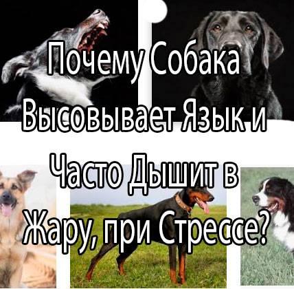 Почему в сильную жару собака высовывает язык — причины такого поведения питомца