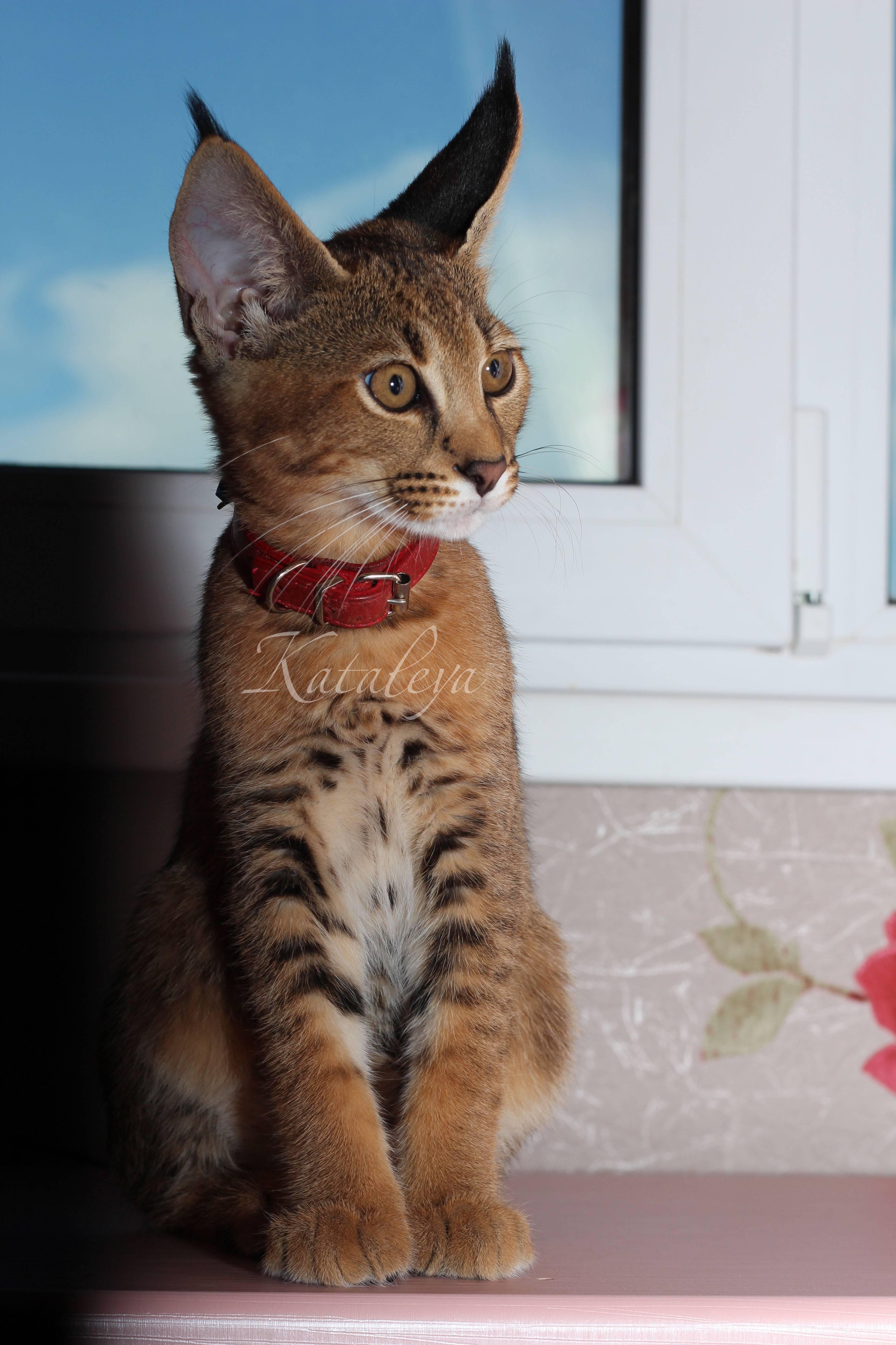 Сколько сегодня стоит котенок каракала в россии