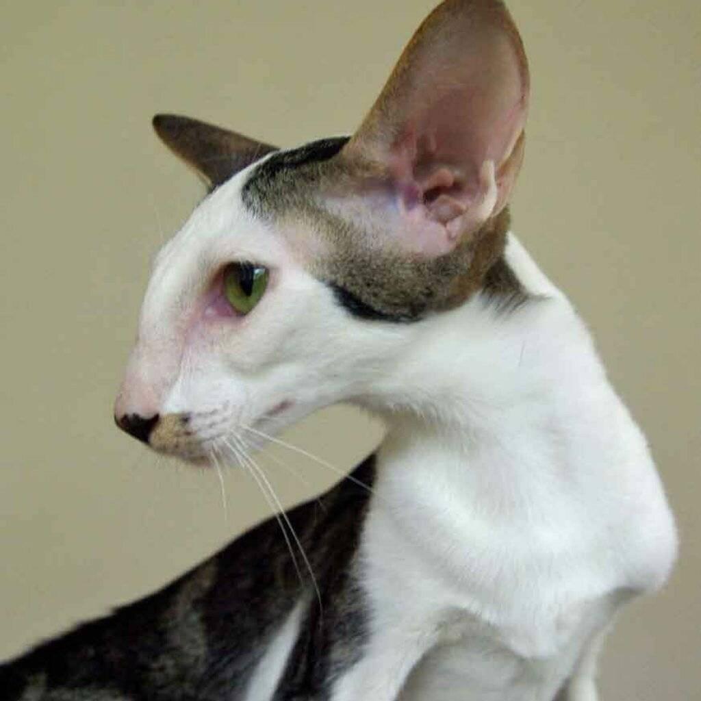 Кошки с большими ушами: породы