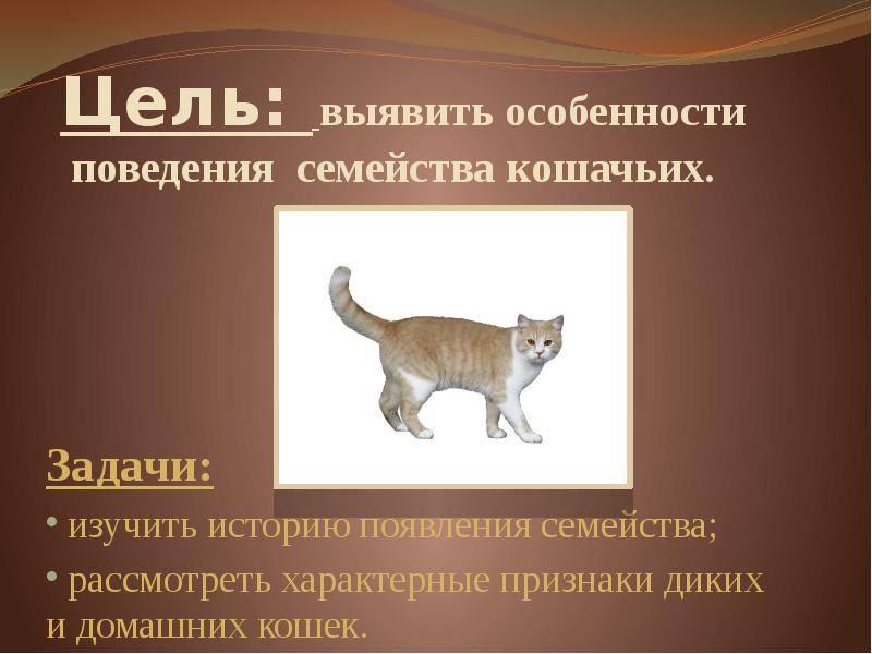 Характер бенгальской кошки: особенности поведения домашних леопардов