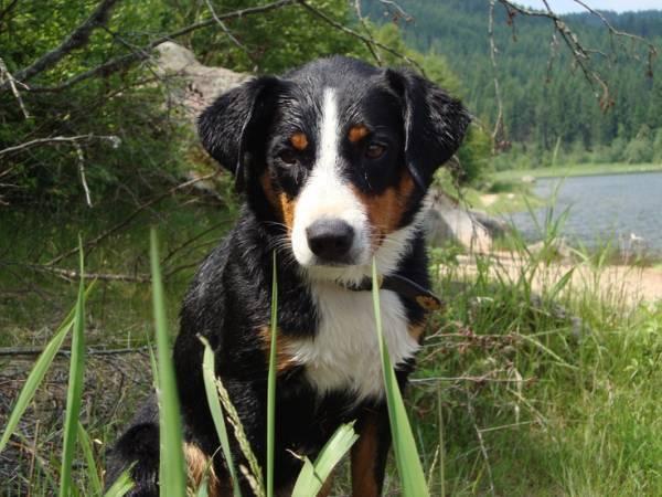 Большой швейцарский зенненхунд: характеристики породы, уход