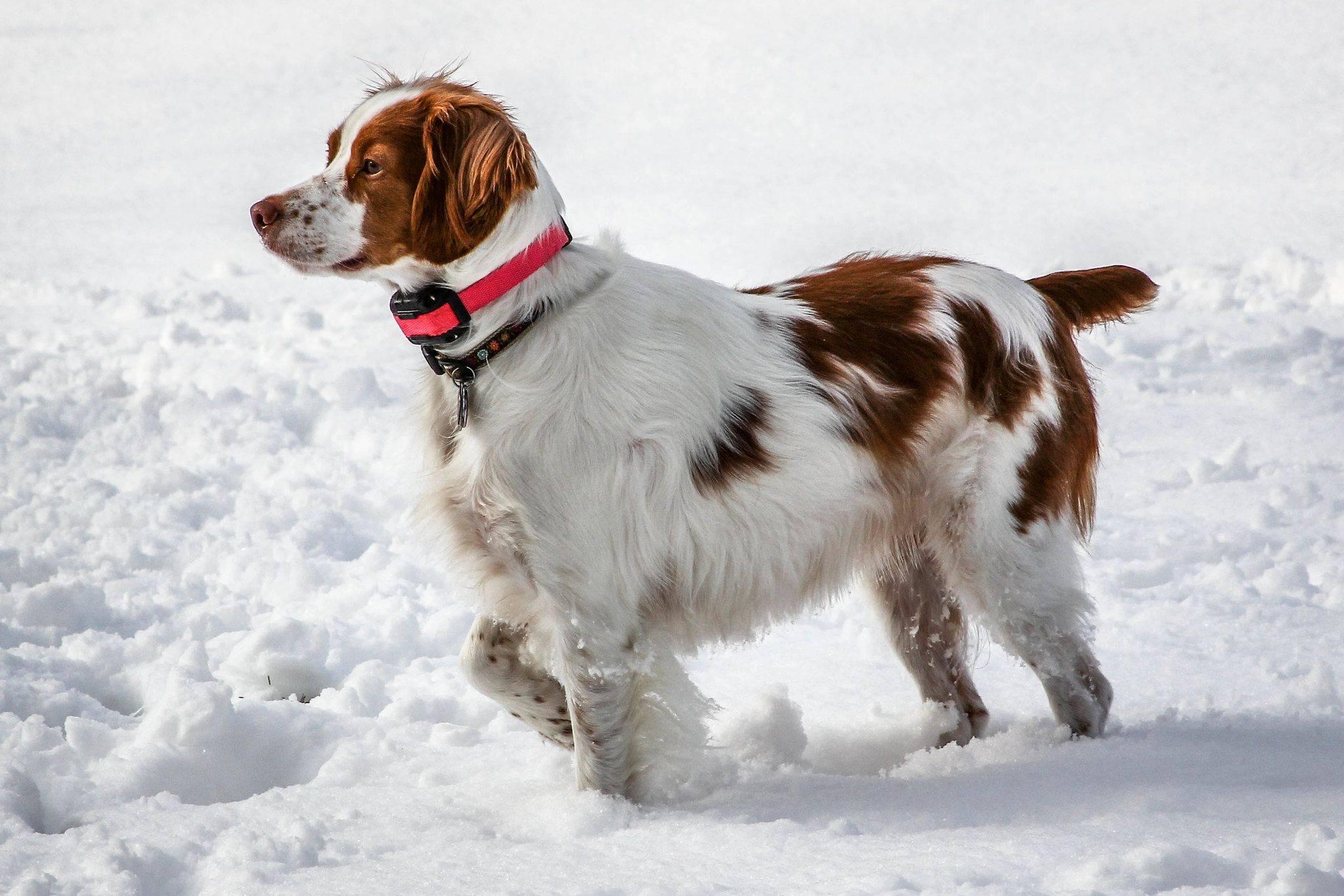 Бретонский эпаньоль: описание породы собак, содержание и уход