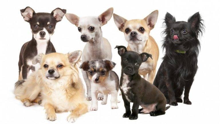 Чихуахуа: история породы и происхождение собак, как вывели, появились и откуда родом домашние питомцы кратко