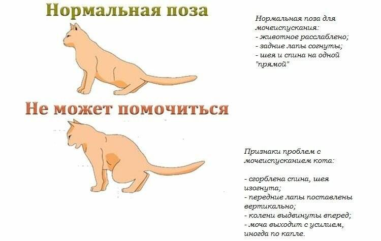 Белок в моче у кошек: причины и лечение