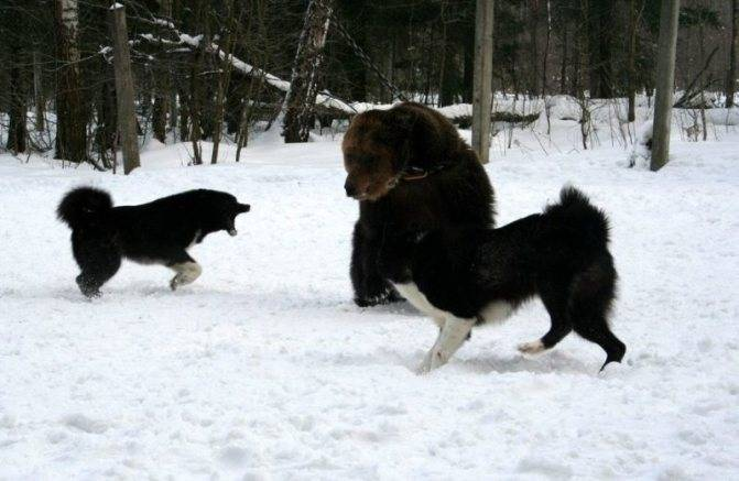 Особенности содержания и ухода за карельской медвежьей собакой