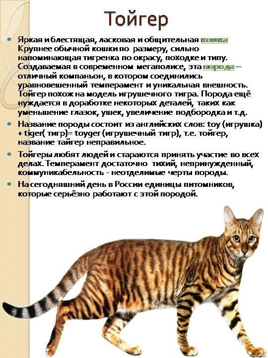 Курильский бобтейл: описание и характеристика породы