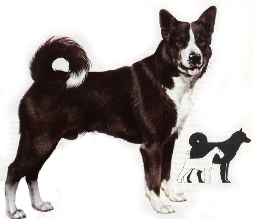 Карельская медвежья собака — википедия. что такое карельская медвежья собака