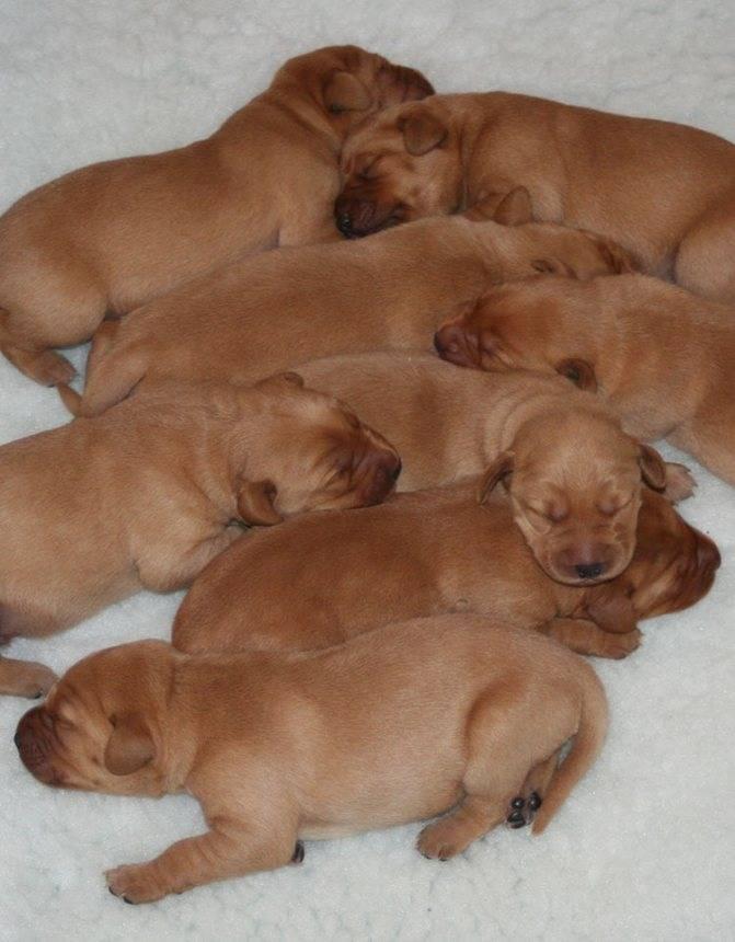 Размеры лабрадоров (19 фото): стандарт породы. рост взрослых собак и щенков в холке и другие параметры