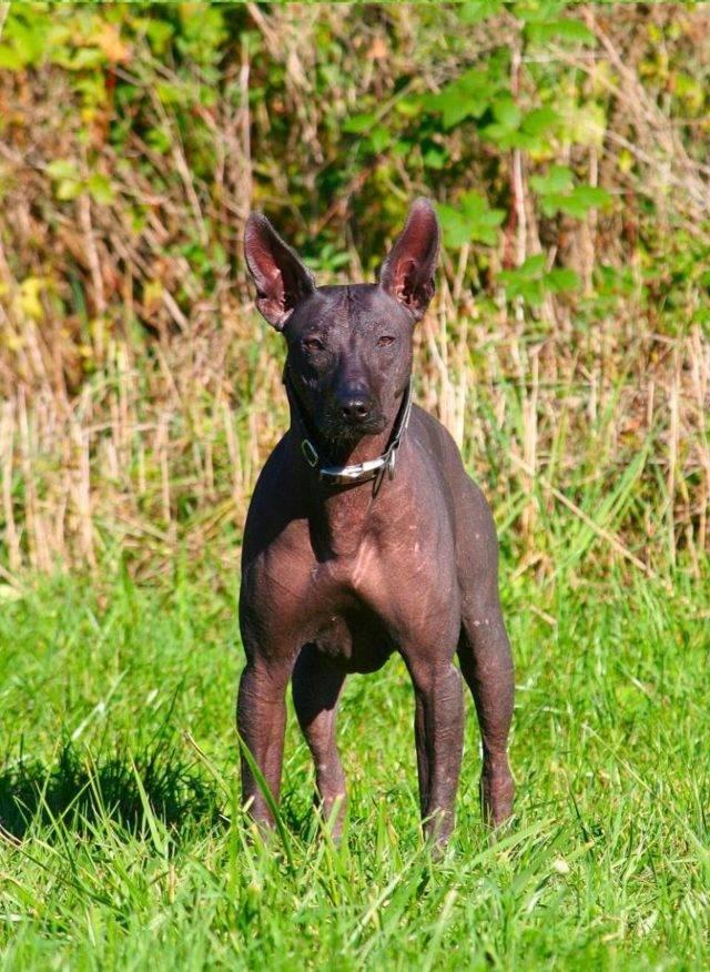 Мексиканская голая собака ксолоитцкуинтли: описание, фото, характер и особенности содержания породы