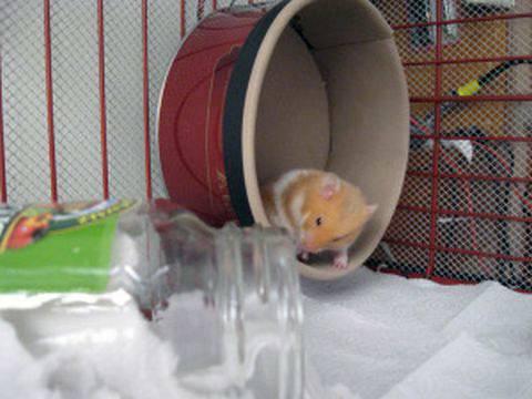 Колесо для хомяка вполне можно сделать своими руками: инструкция