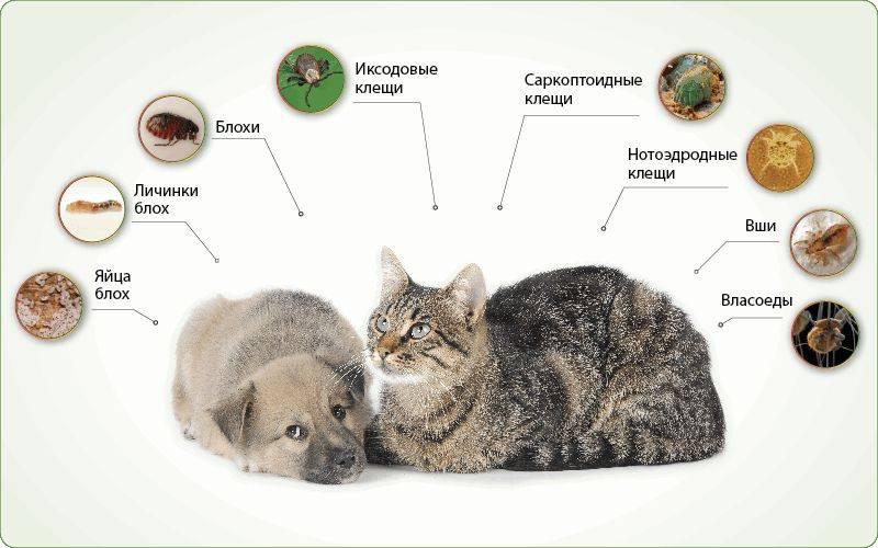 Передаются глисты от собаки к собаке - все про паразитов