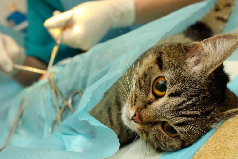 Стерилизация кошек в домашних условиях проводит врач;