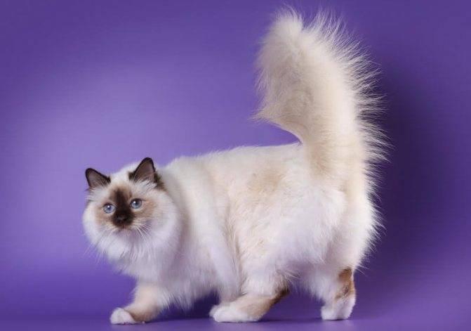 Бирманская кошка (священная бирма) - описание породы