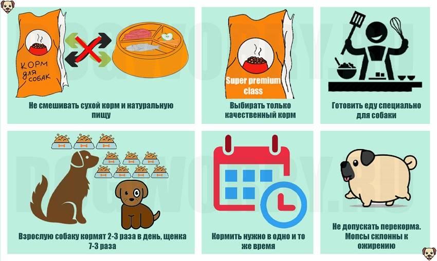 Чем кормить мопса – рацион, правила кормления
