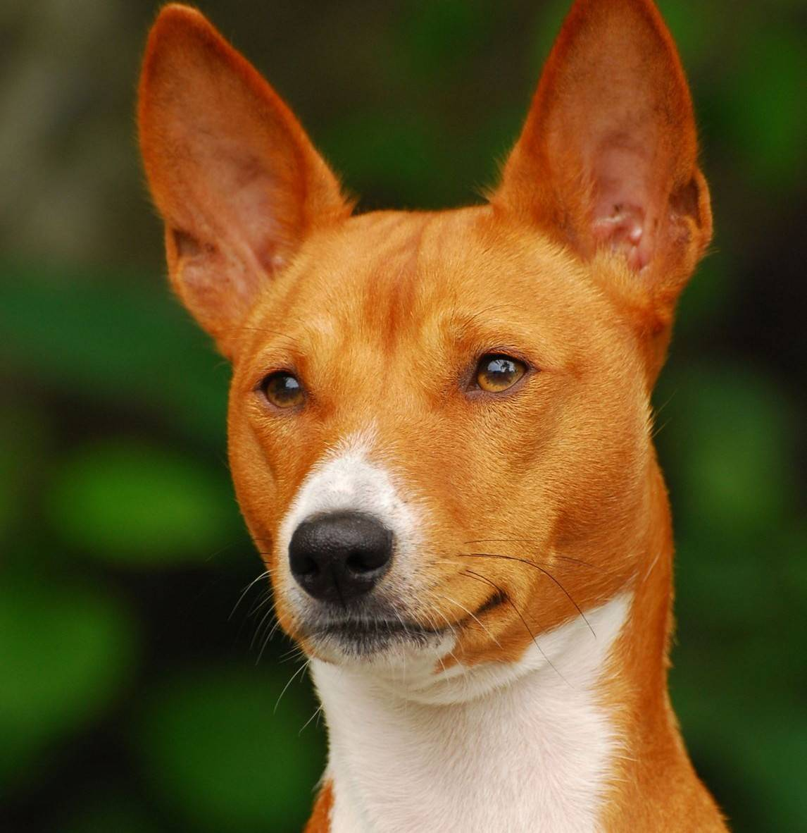 Собаки, которые не лают — название, фото, описание пород