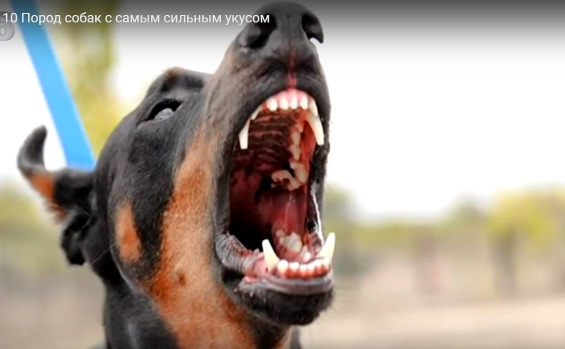 Собаки с сильным укусом