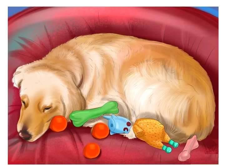 Ложная беременность у собак: симптомы, что делать, сколько длится, методы лечения и профилактика
