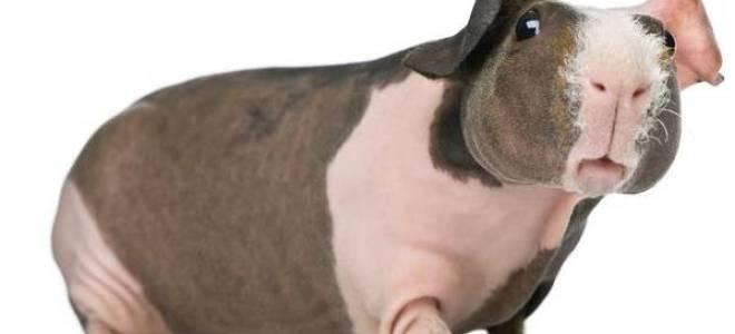 Морские свинки породы селф