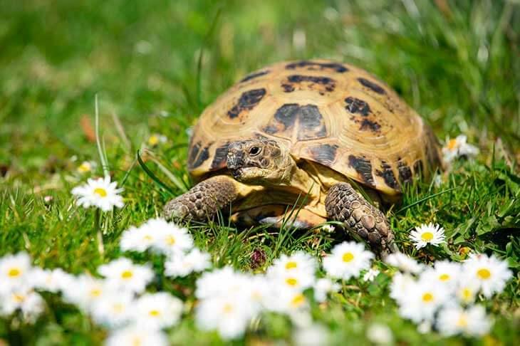 Сколько живут домашние черепахи