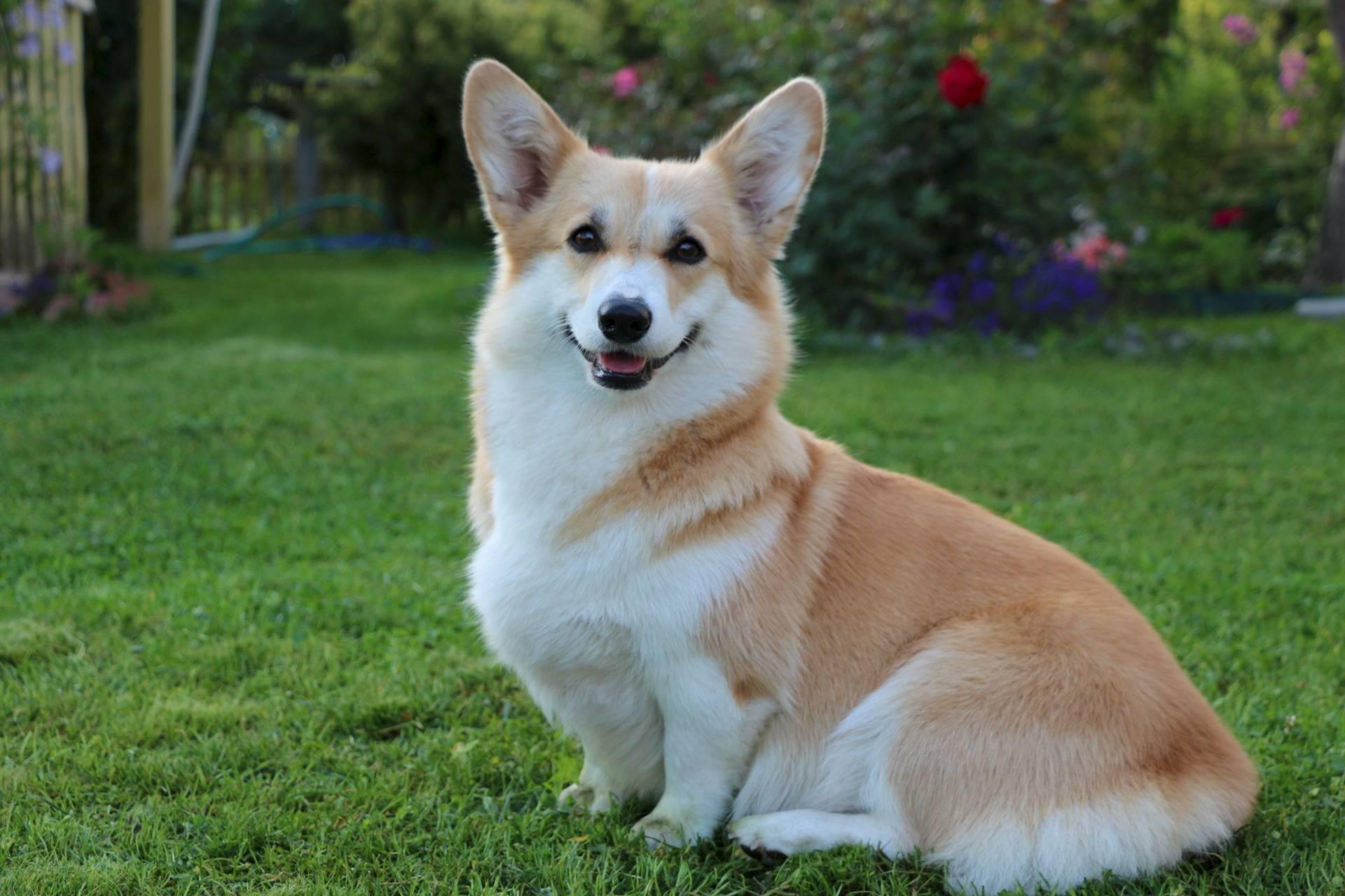 Собака с большими ушами и короткими лапами: порода с фото и названием