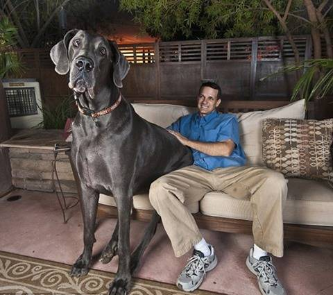 Самые большие породы собак - топ-10 самых крупных собак