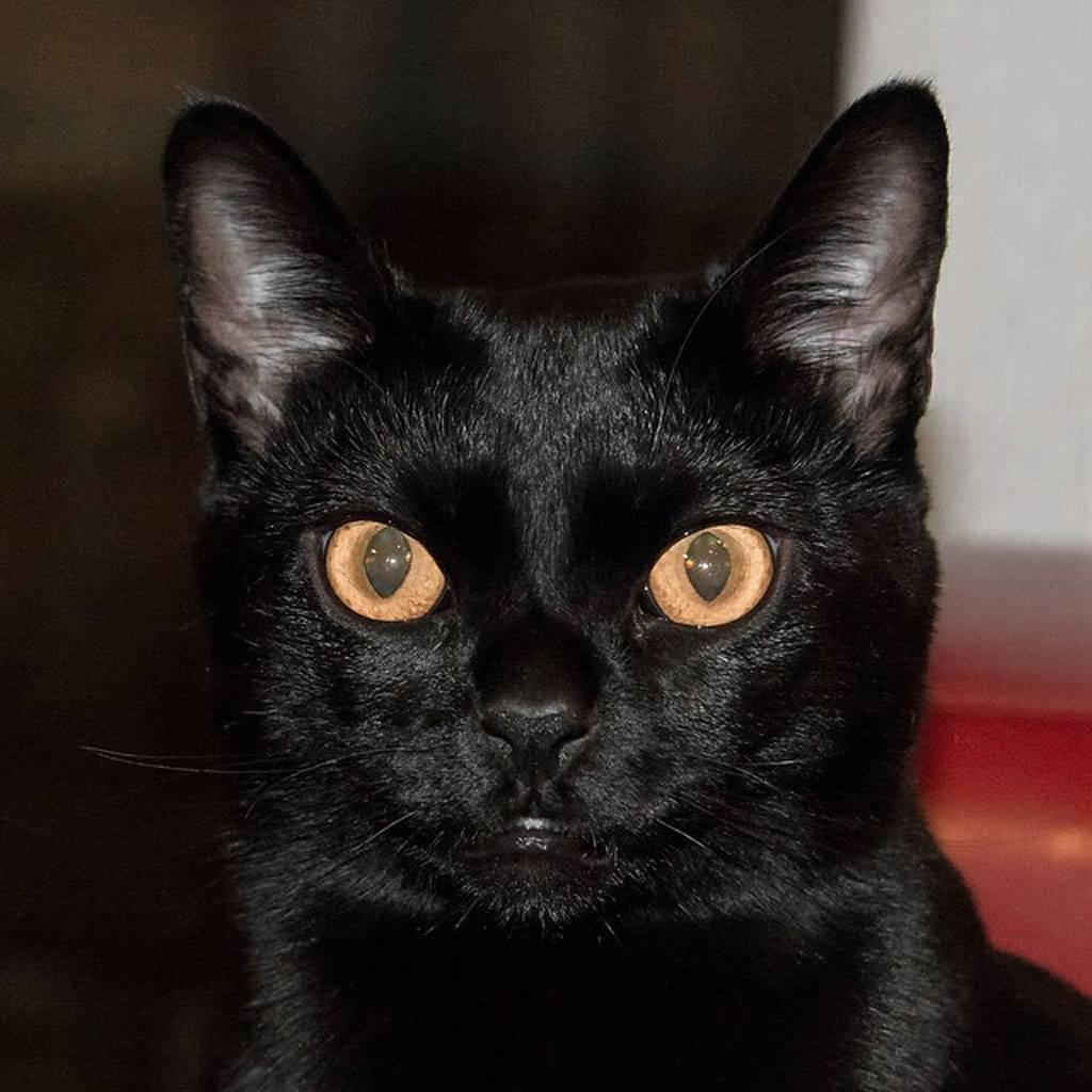 Черно-белый кот: особенности, разновидности окраса, список пород биколор