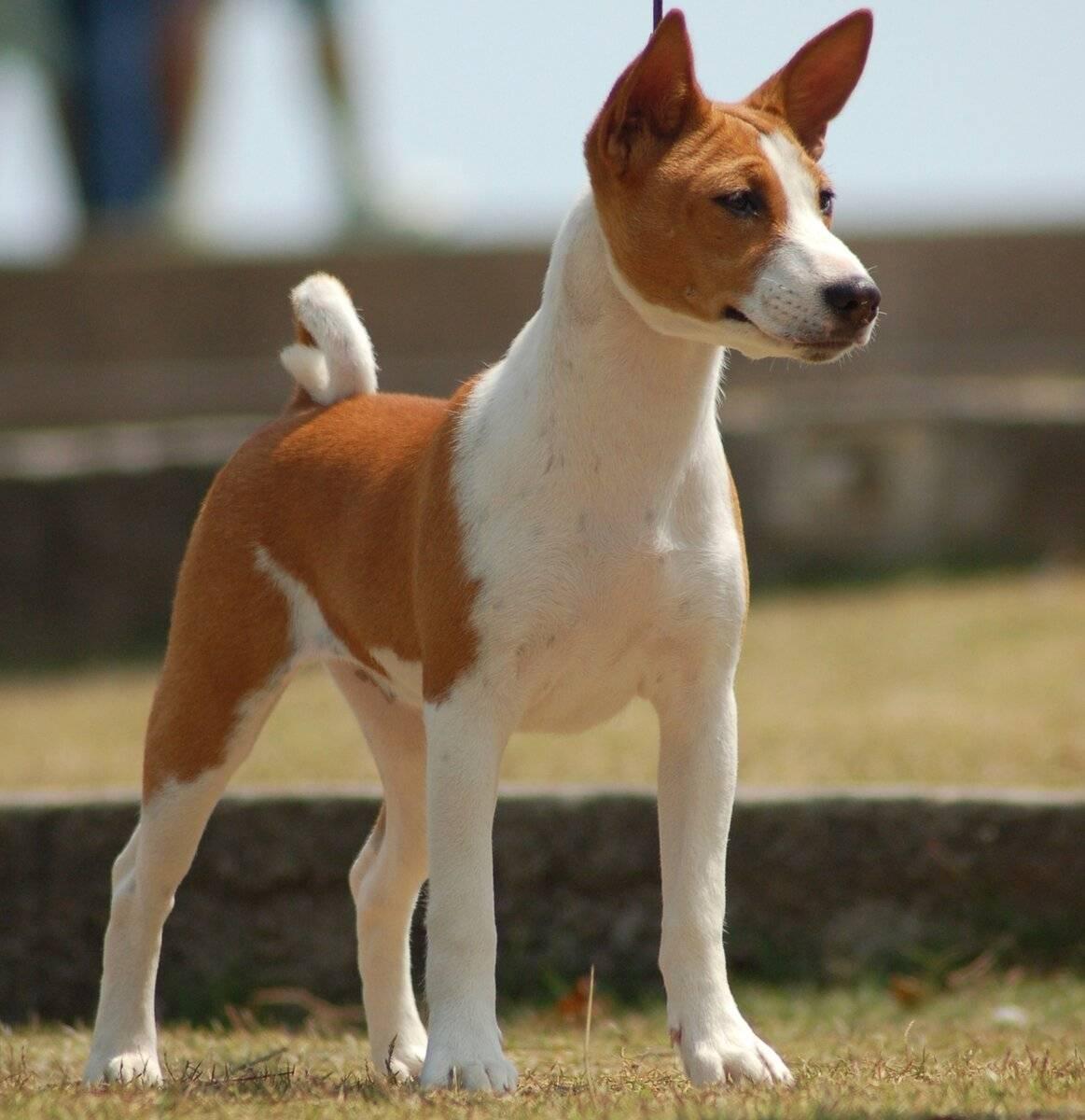 Африканская нелающая собака: особенности породы басенджи