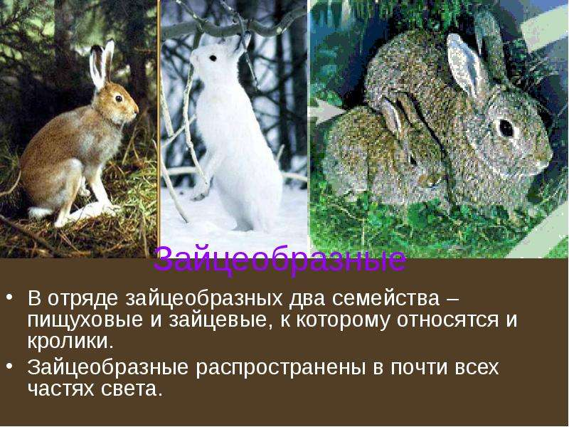 Описание породы кроликов серый великан: правила содержания и разведения